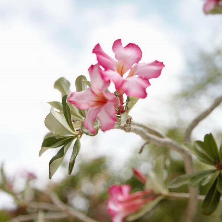 rosa do deserto rosa