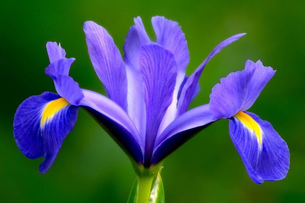 tipos de flores- íris