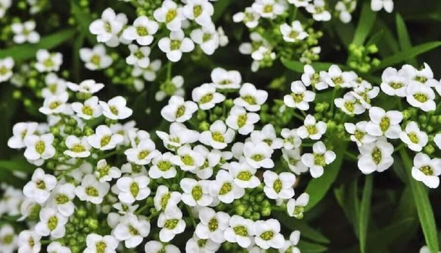 tipos de flores- alisso