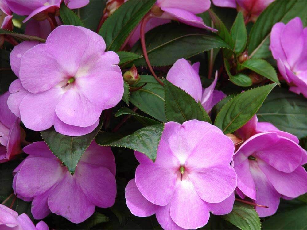 tipos de flores - beijo pintado