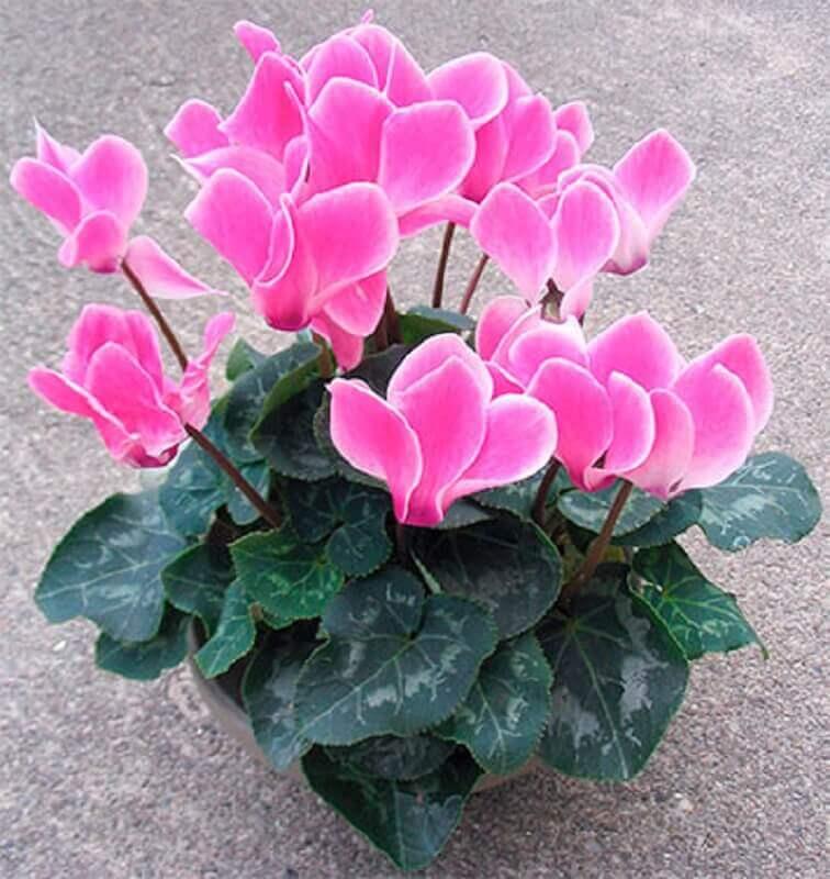 tipos de flores - ciclame