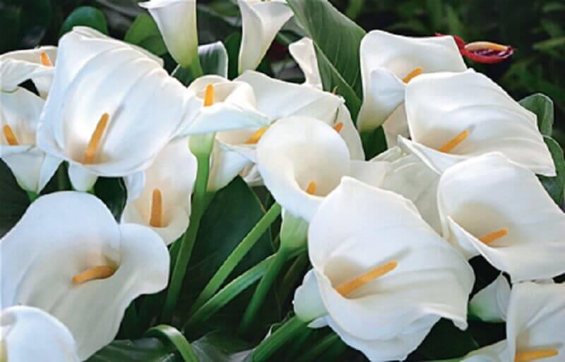 tipos de flores- copo de leite