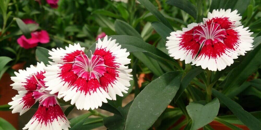 tipos de flores- cravina