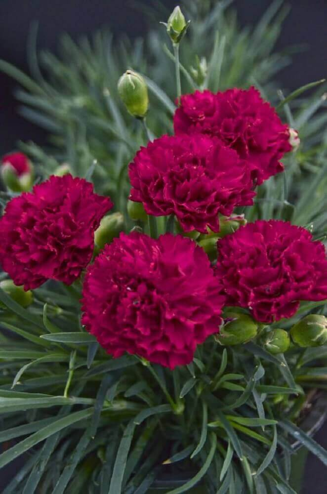 tipos de flores - cravo