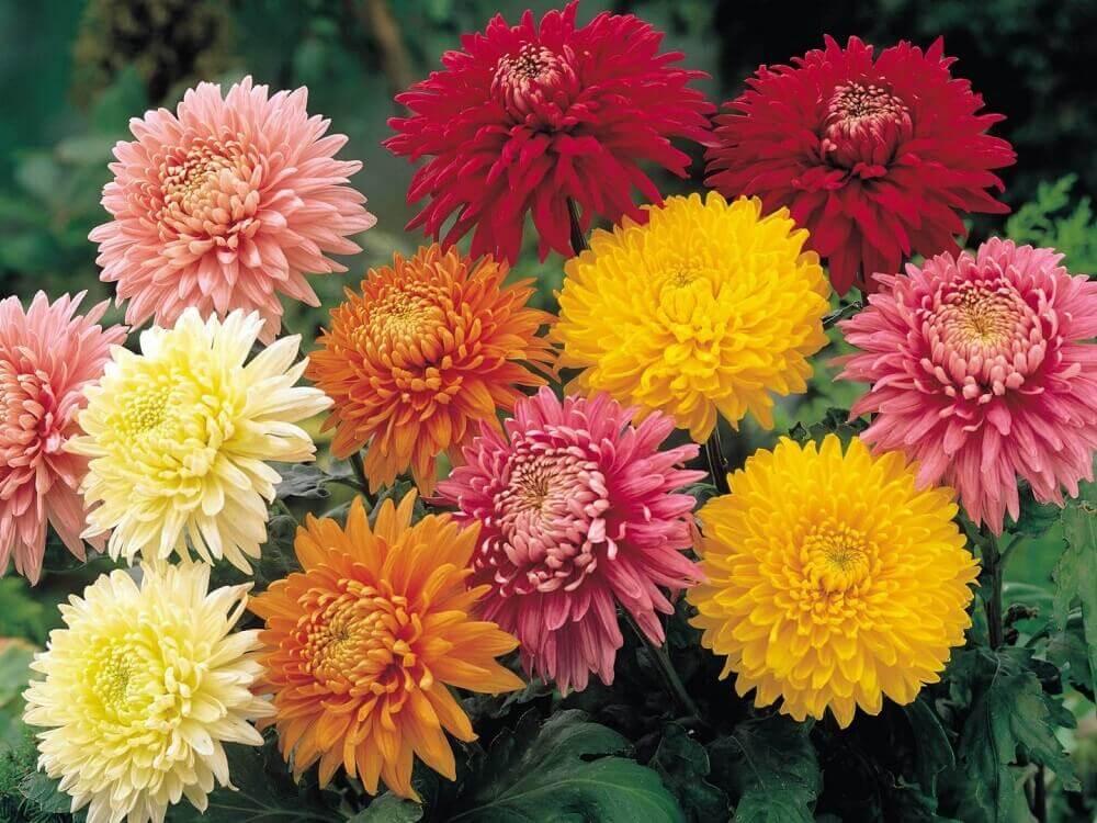 tipos de flores - crisântemo
