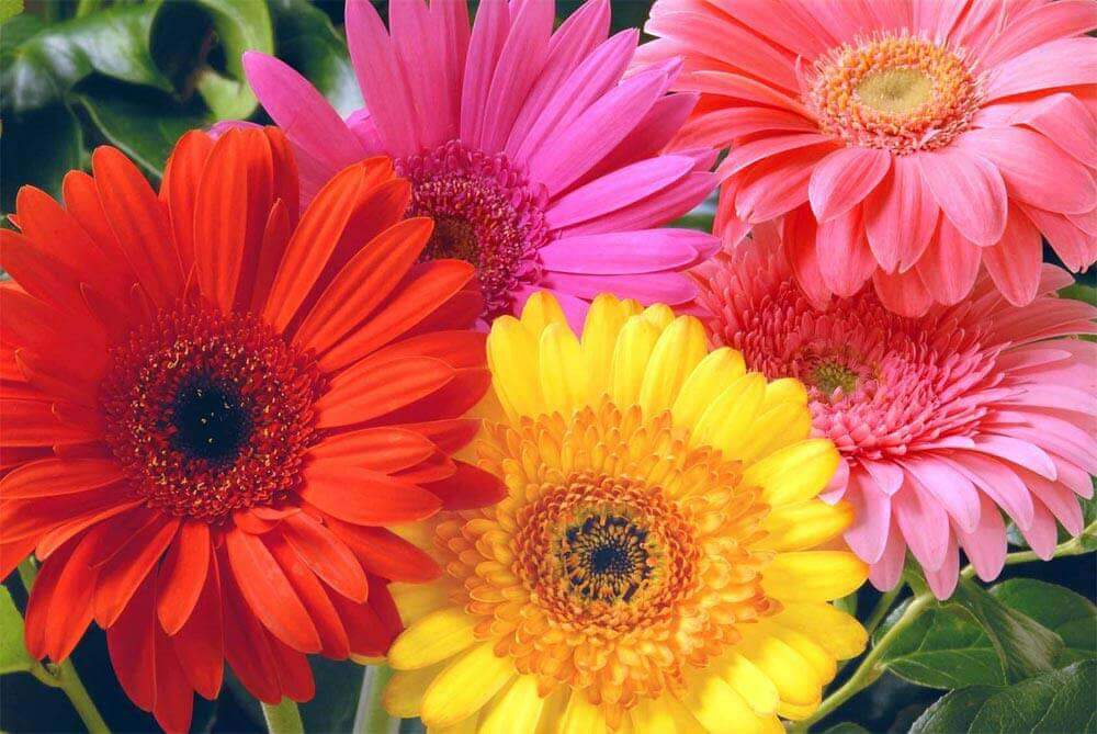 tipos de flores- gérbera
