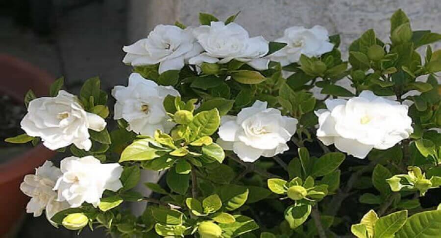 tipos de flores - gardênia