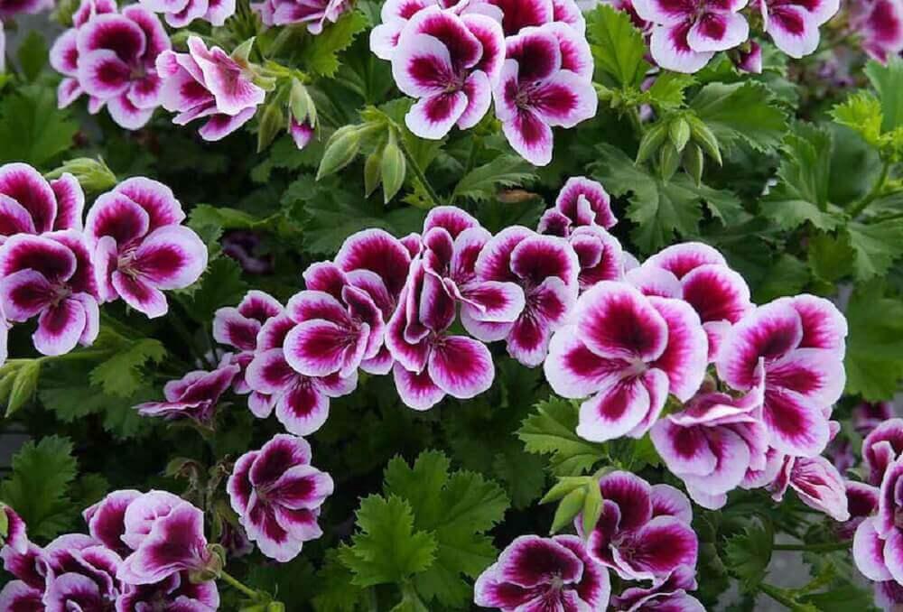 tipos de flores- gerânio