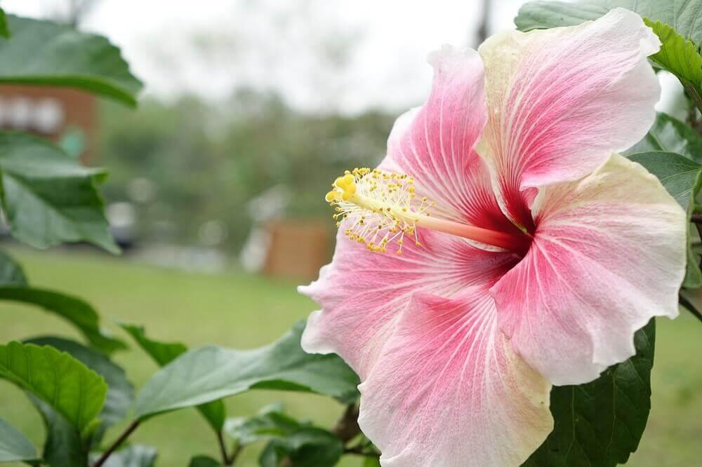 tipos de flores - hibisco