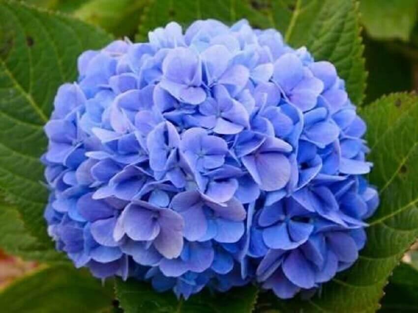 tipos de flores - hortênsia