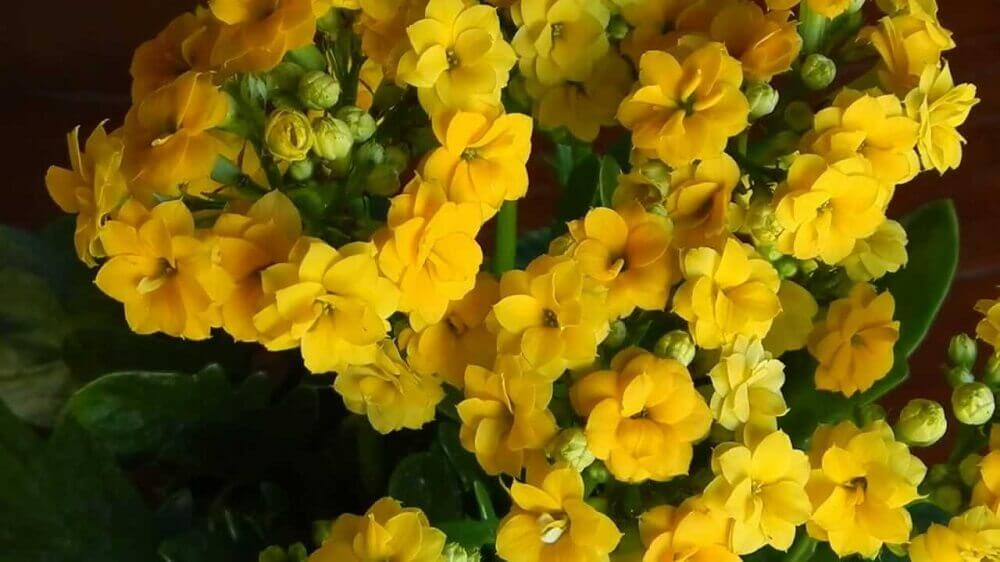 tipos de flores - kalanchoê