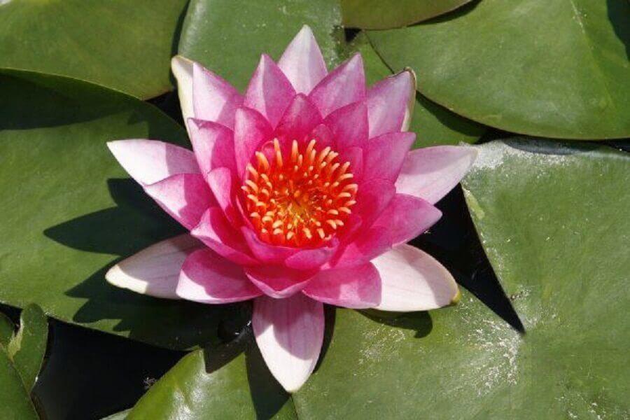 tipos de flores - lótus