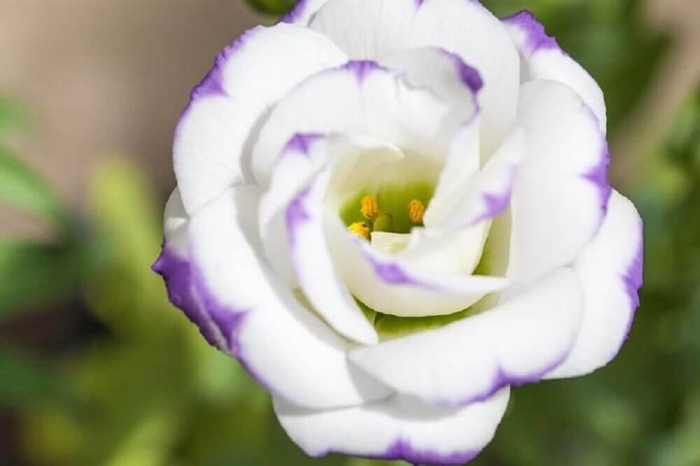 tipos de flores - lisianto