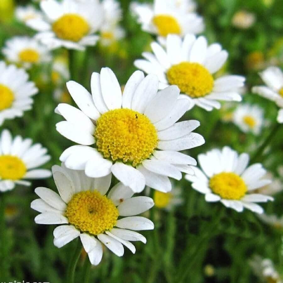tipos de flores - margarida