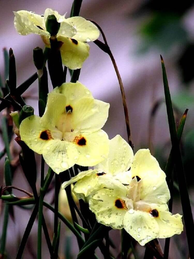 tipos de flores - moréia
