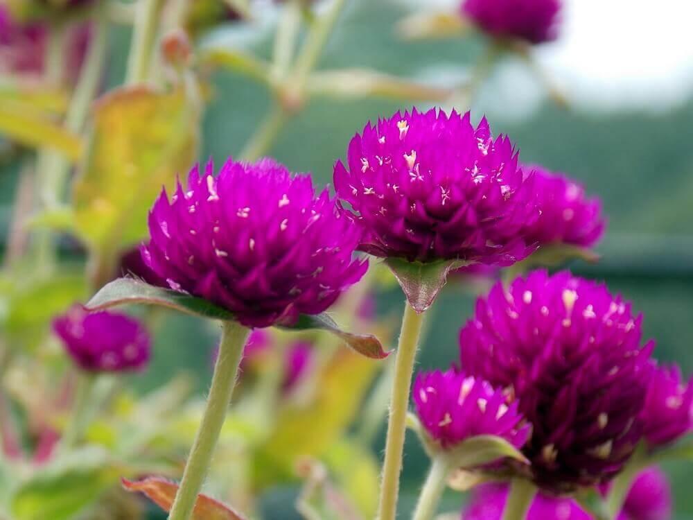 tipos de flores - perpétua