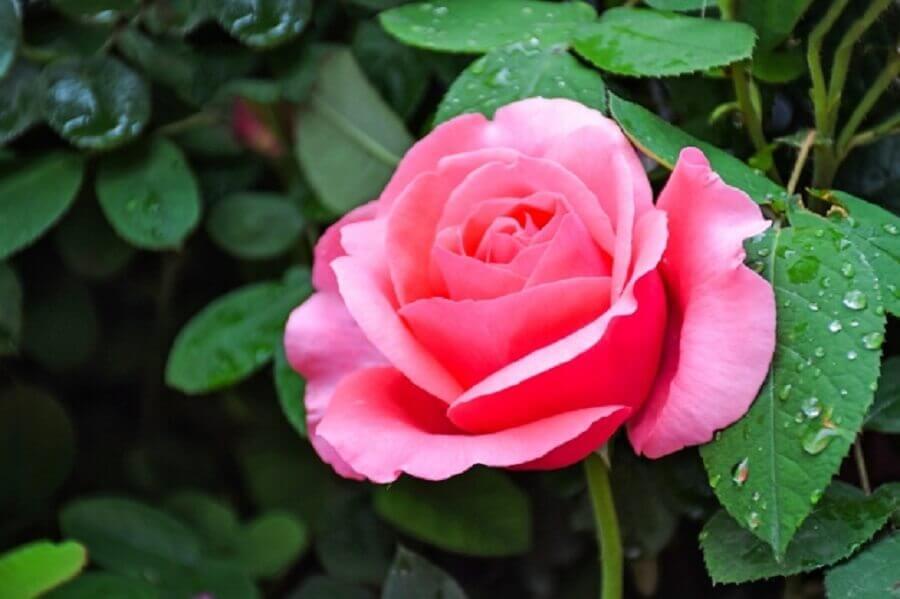 tipos de flores - rosa