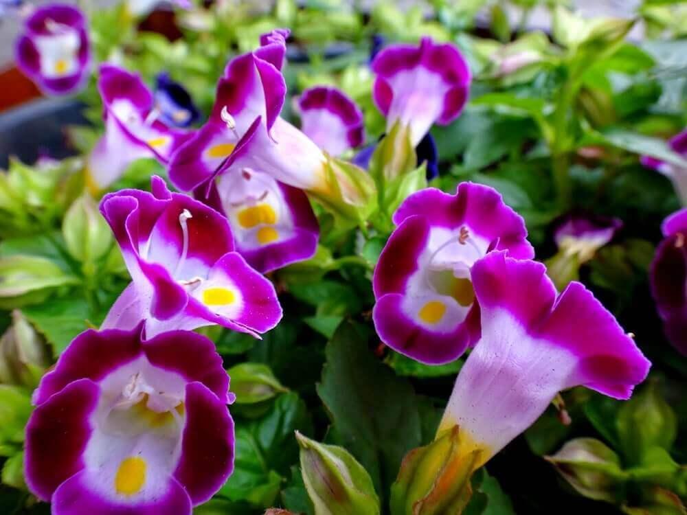 tipos de flores - torênia