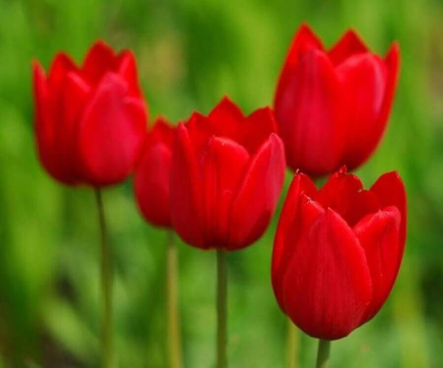 tipos de flores- tulipa