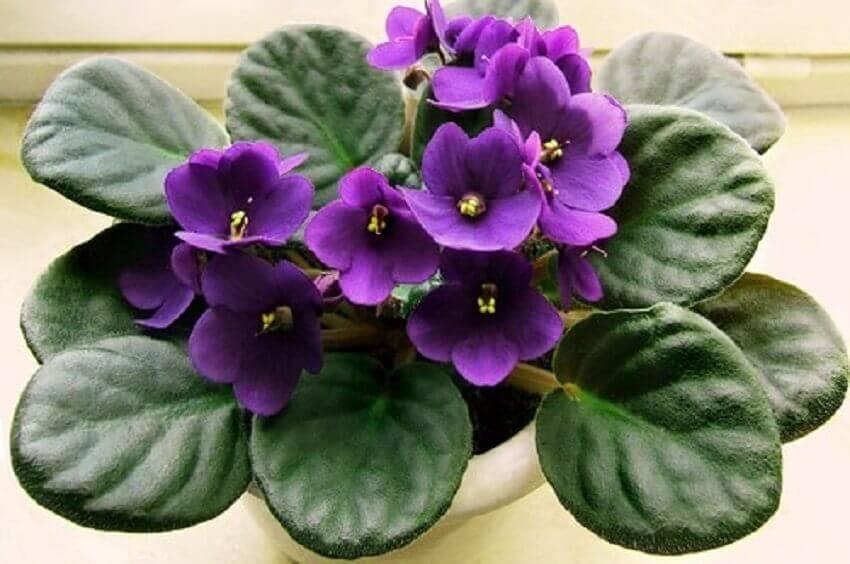 tipos de flores - violeta