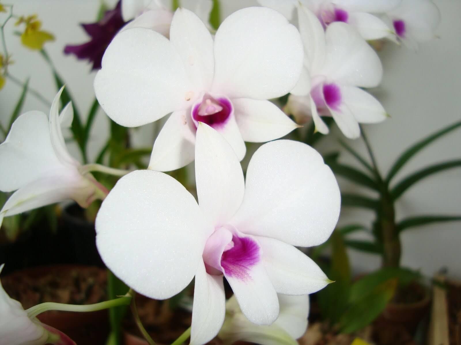 Orquídeas denphal branca