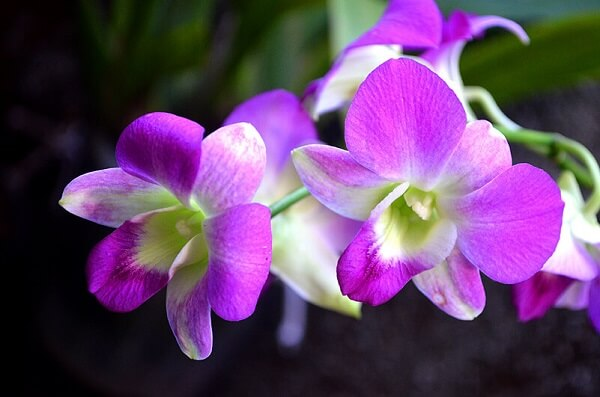 tipos de orquídeas denphal sofisticados