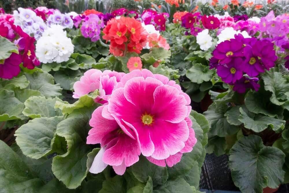 tipos de plantas - prímula