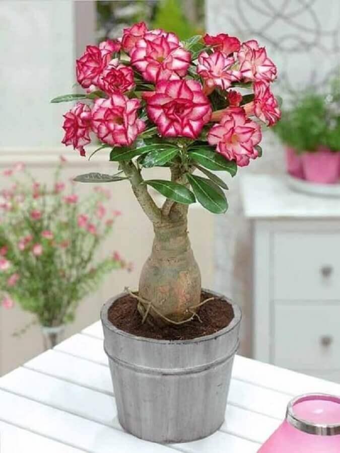 vaso com rosa do deserto cor de rosa