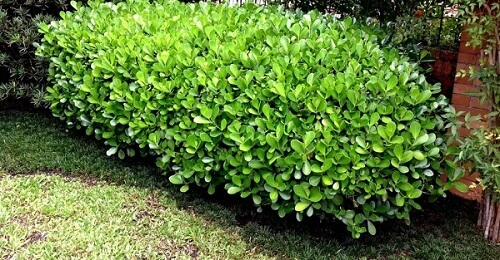 16- Plantas clúsia