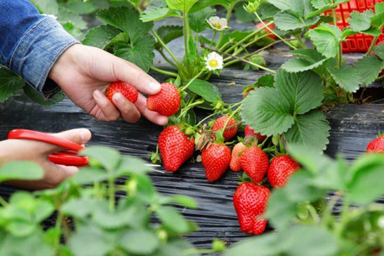 Aprenda como plantar morango em casa