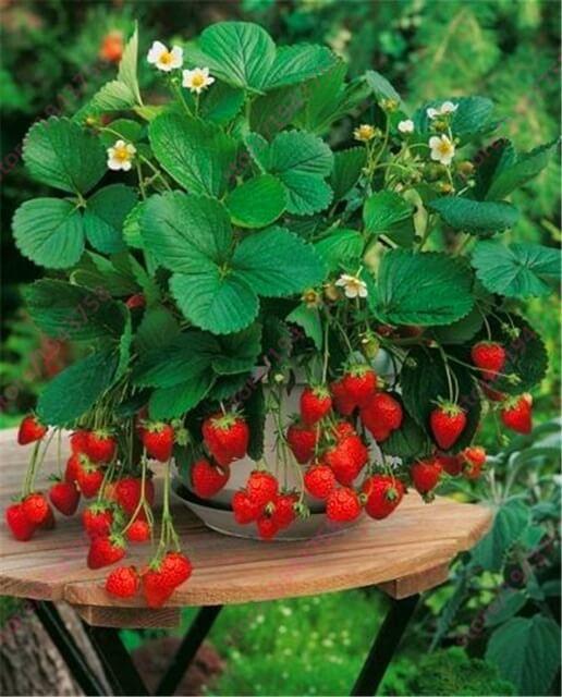 Como plantar morango em vasos