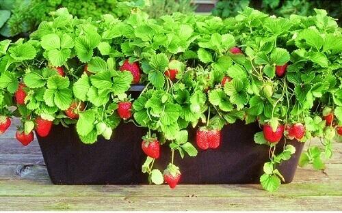 Como plantar morango jardineira