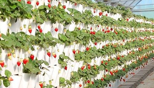Como plantar morango na estufa