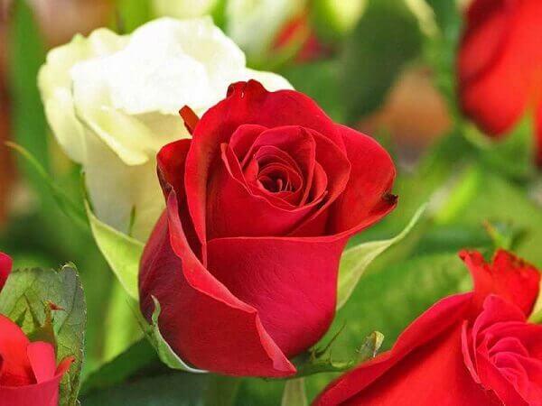 Como plantar rosas variedades