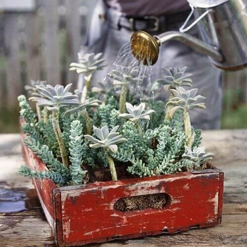 Gaveta com plantas suculentas