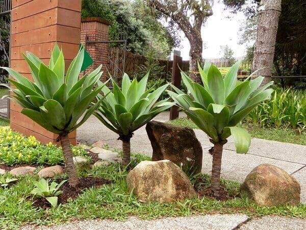 Plantas agave dragão