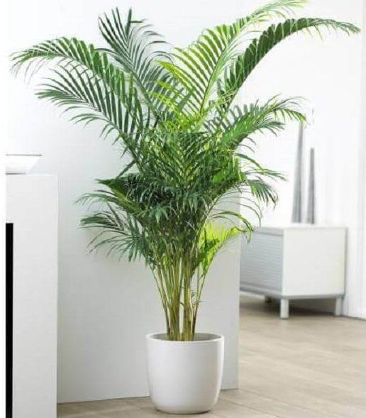 Plantas ornamentais como a areca-bambu são ótimas para ambientes internos