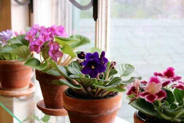 Plantas ornamentais violetas