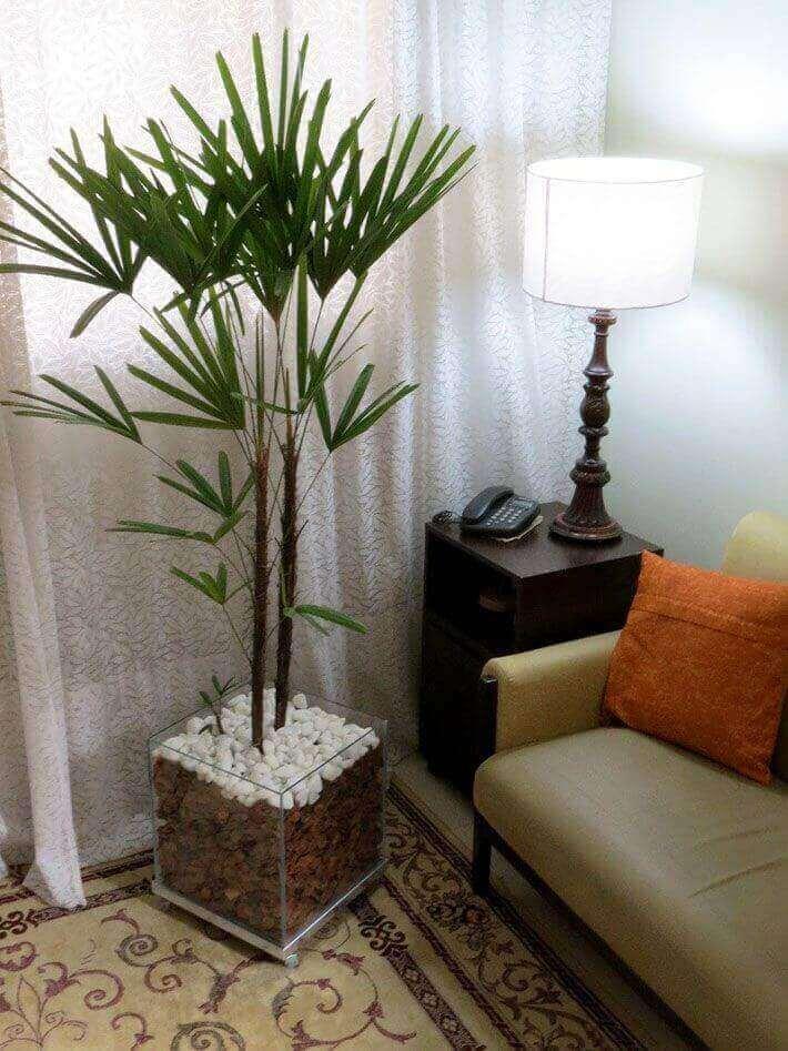 Plantas palmeira ráfia