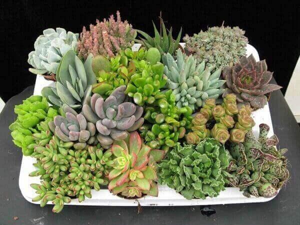 Vaso com plantas suculentas