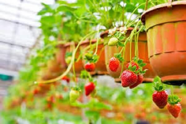 capa como plantar morango em vasos