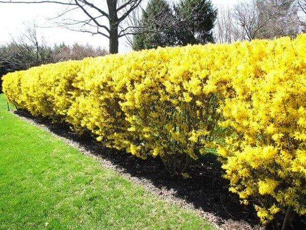 cerca viva amarela