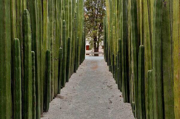 cerca viva com Cactus colunares