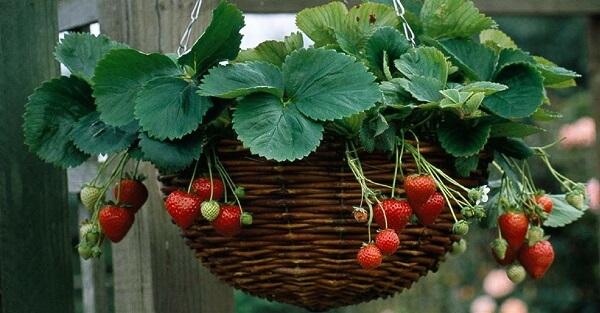 como plantar morango cachepos