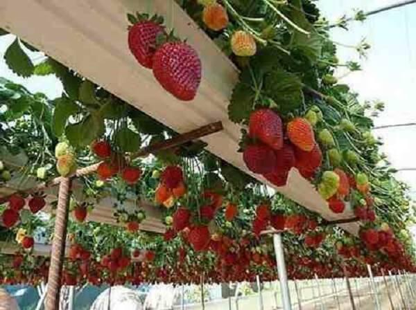 como plantar morango fazenda de plantação