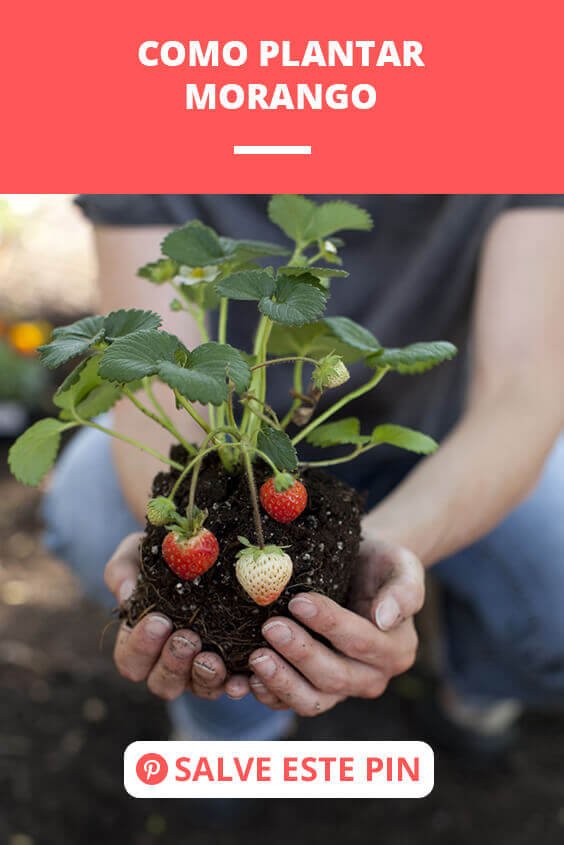 como plantar morango