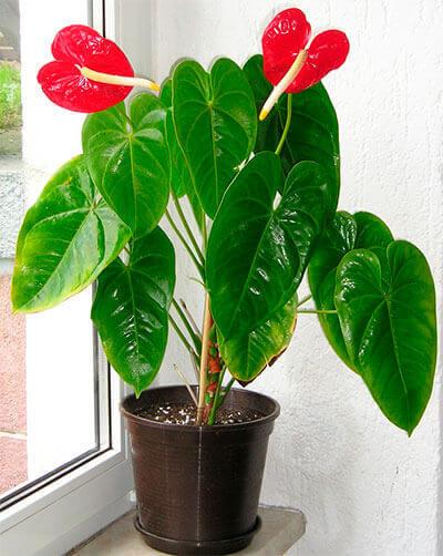 plantas antúrio