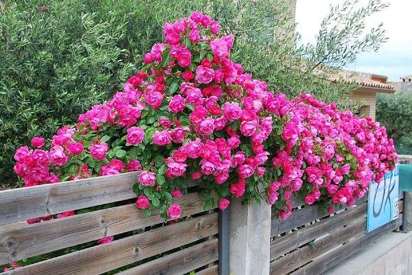 as rosas trepadeiras são plantas ornamentais ideais para cobrir uma treliça