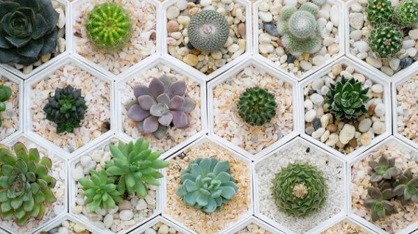 cactos são plantas ornamentais que podem ser cultivadas em vasos