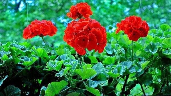 Gerânios para um jardim sempre flor. Fonte GreenMe (1)